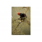 KSI310221 Pruning Saw Gomtaro 210-8